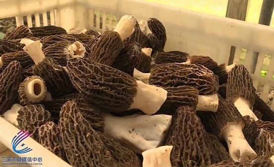 """抢先上市!菌菇""""贵族""""兰溪产,迎来丰产丰收开门红"""